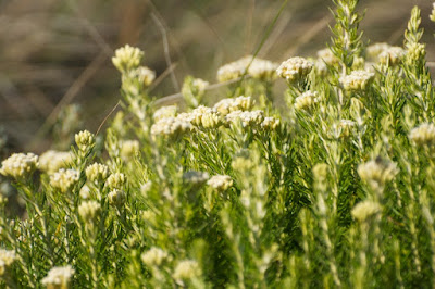 Coast Everlasting (Ozothamnus turbinatus)