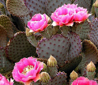 Purple-ish prickly pear cactus with hot pink flowers.