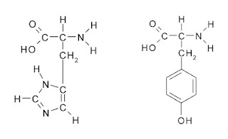 histidine and tyrosine