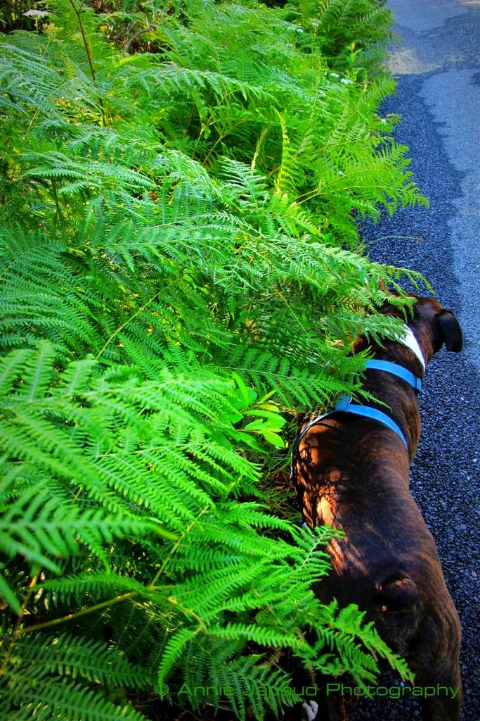 green ferns by the side of the road, boxer dog