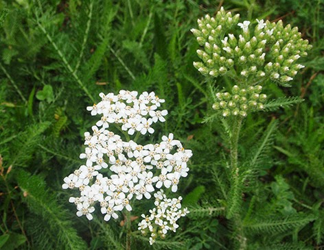 Milenrama(Achillea millefolium)flor blanca
