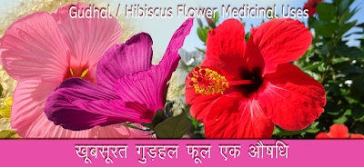 गुड़हल फूल औषधि Gudhal, Hibiscus Leaves in Hindi, गुड़हल के फूल के फायदे,  gudhal phool ke fayde, gudhal phool powder, गुड़हल फूल पाउडर, gudhal ke phool ke aushadhi gun, gudhal ke phool ke upyog, गुड़हल फूल के उपयोग, gudhal ke phool ke gharelu nuskhe