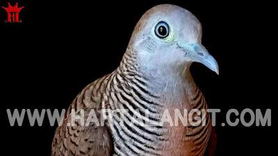 gambar burung perkutut lokal katuranggan