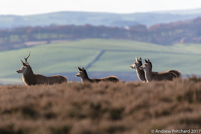 The stag with single antler leads his small group of hinds towards something interesting.