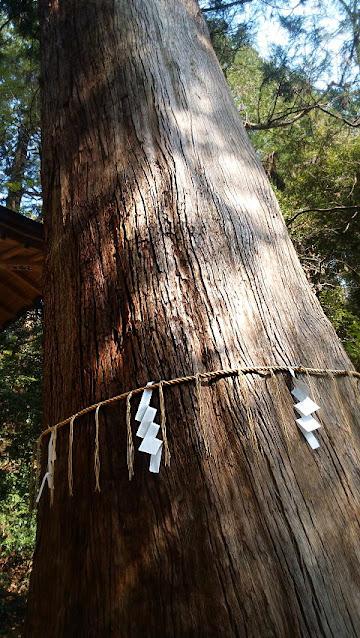 根小屋諏訪神社の杉