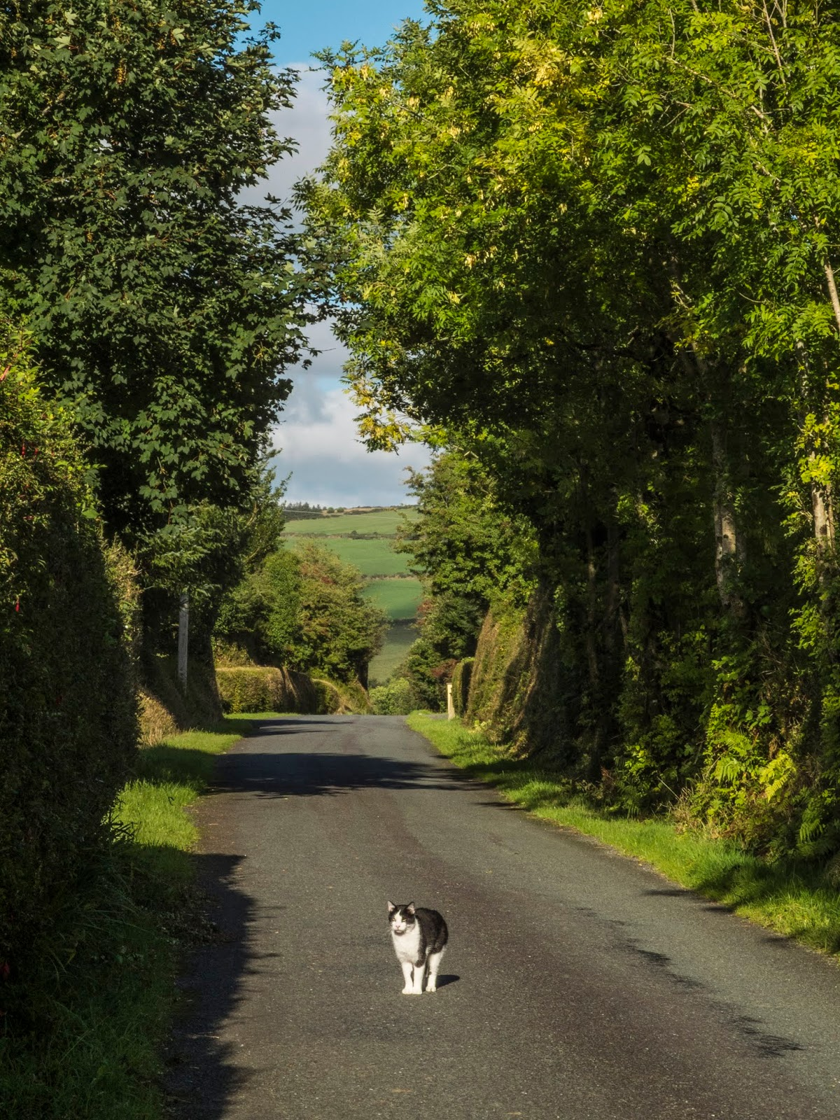 A black and white cat standing in the middle of a country road with tree tunnels in the sunlight.