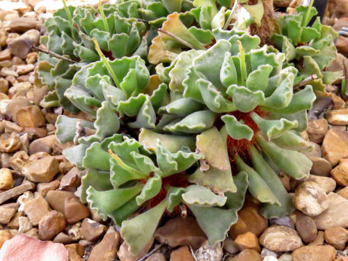crinkle leaf
