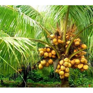 THE AMAZING HEALTH BENEFITS OF COCONUT