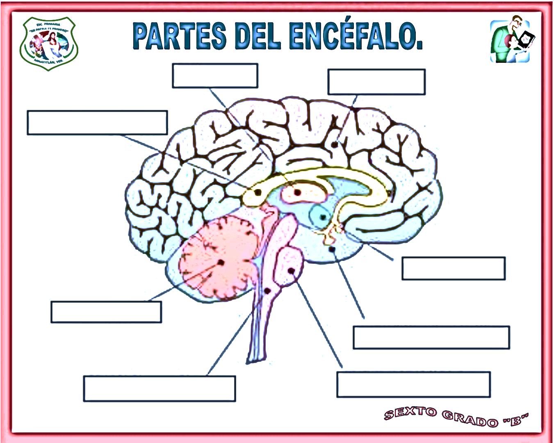 Bonito Anatomía Del Cerebro Para Colorear Friso - Dibujos Para ...