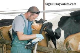 Hayvanların gebelik muayenesi ne zaman yapılır