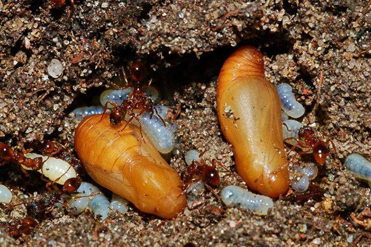 Alcon Mavi Kelebeği diğer adıyla Küçük Korubeni, Karınca larvası taklidi yapar.