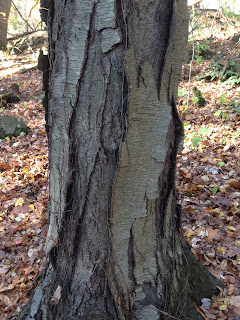 Black Birch Bark Breaking into Plates