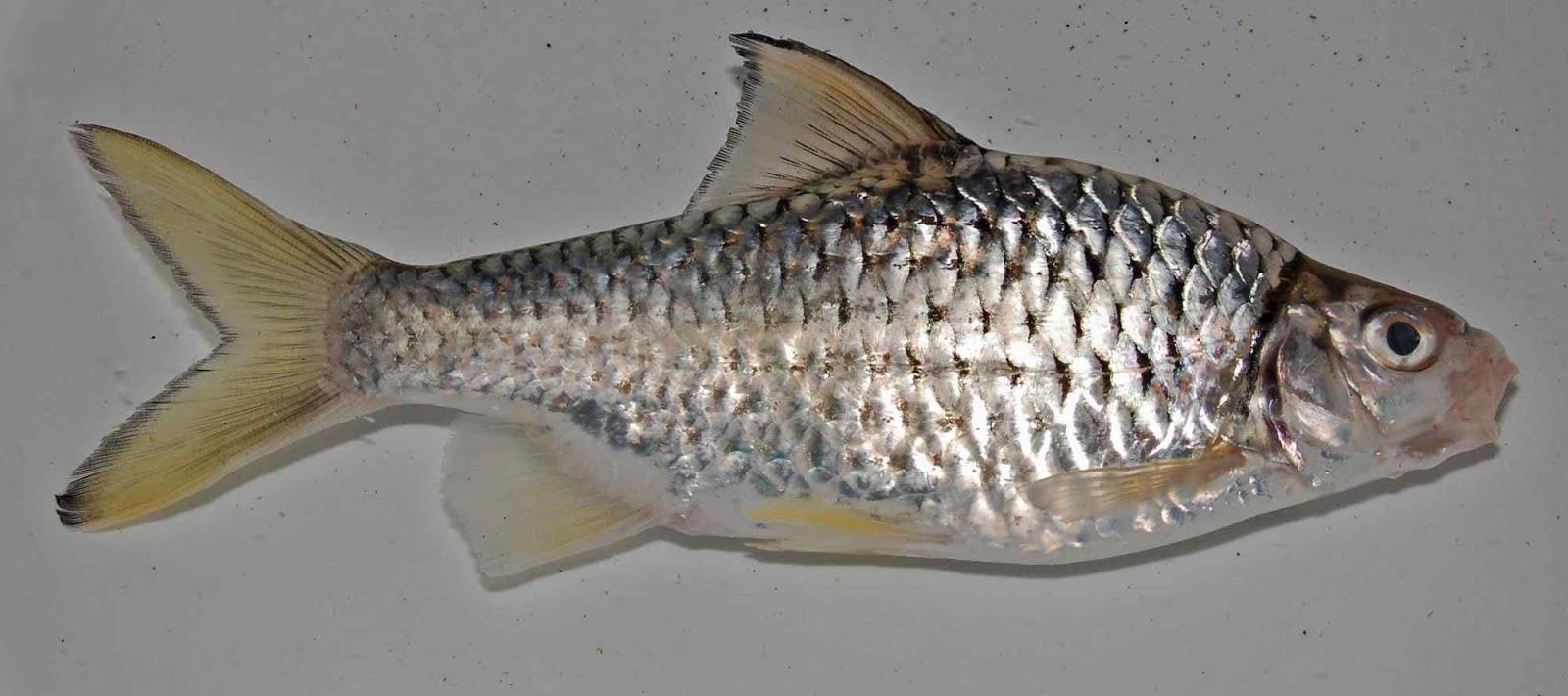 14 Umpan Mancing Ikan Wader Sungai Terbukti Sangat Ampuh