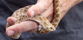 Josie the hognose snake
