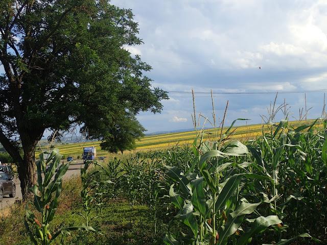 Bukowina jest rolniczym regionem, więc w lecie krajobraz staje się żółty od słoneczników