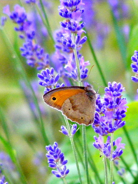 Meadow Brown Maniola jurtina on lavender.  Indre et Loire, France. Photographed by Susan Walter. Tour the Loire Valley with a classic car and a private guide.