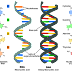 A/L -  BIOLOGY - DNA பின்புற மடிதல்