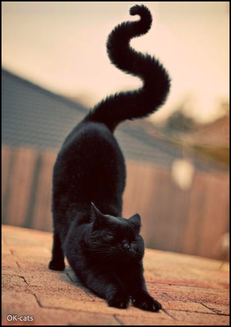 Cat-nipulation • Photoshopped black cat stretching, with an huge and majestic tail