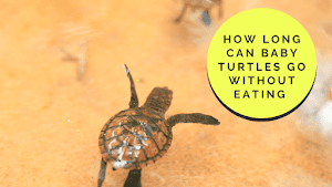 How long can baby turtles go without eating? - Nafa News