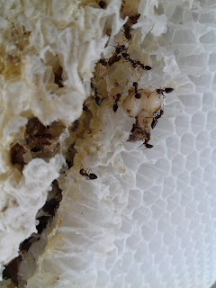 Ant and Larvae