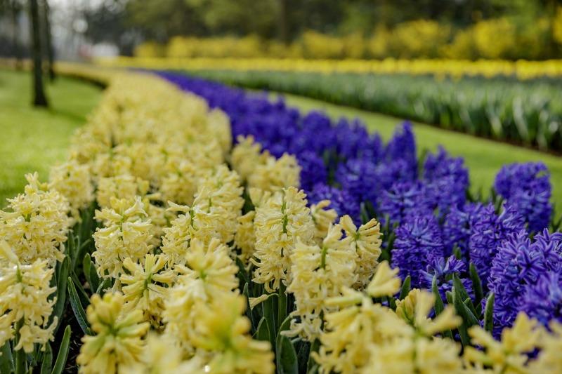 Narcisos amarillos y azules