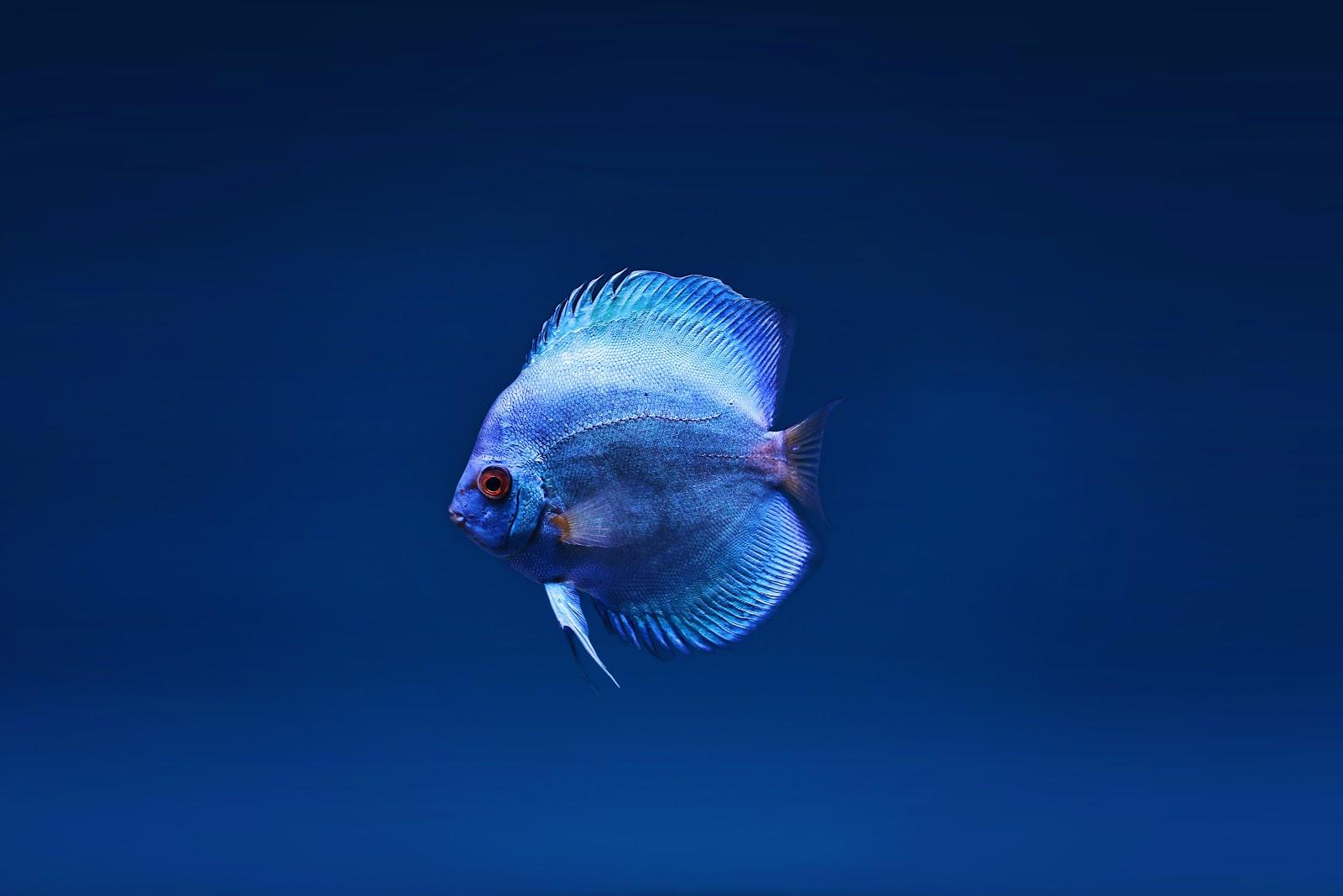 blue-discus-fish-pictures