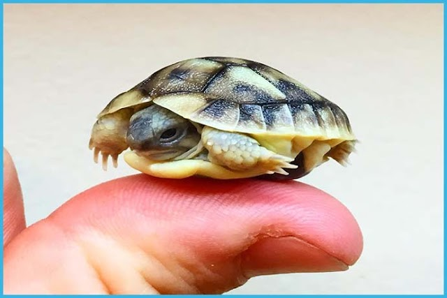 Raising a Hermann's turtle: advice and good practices