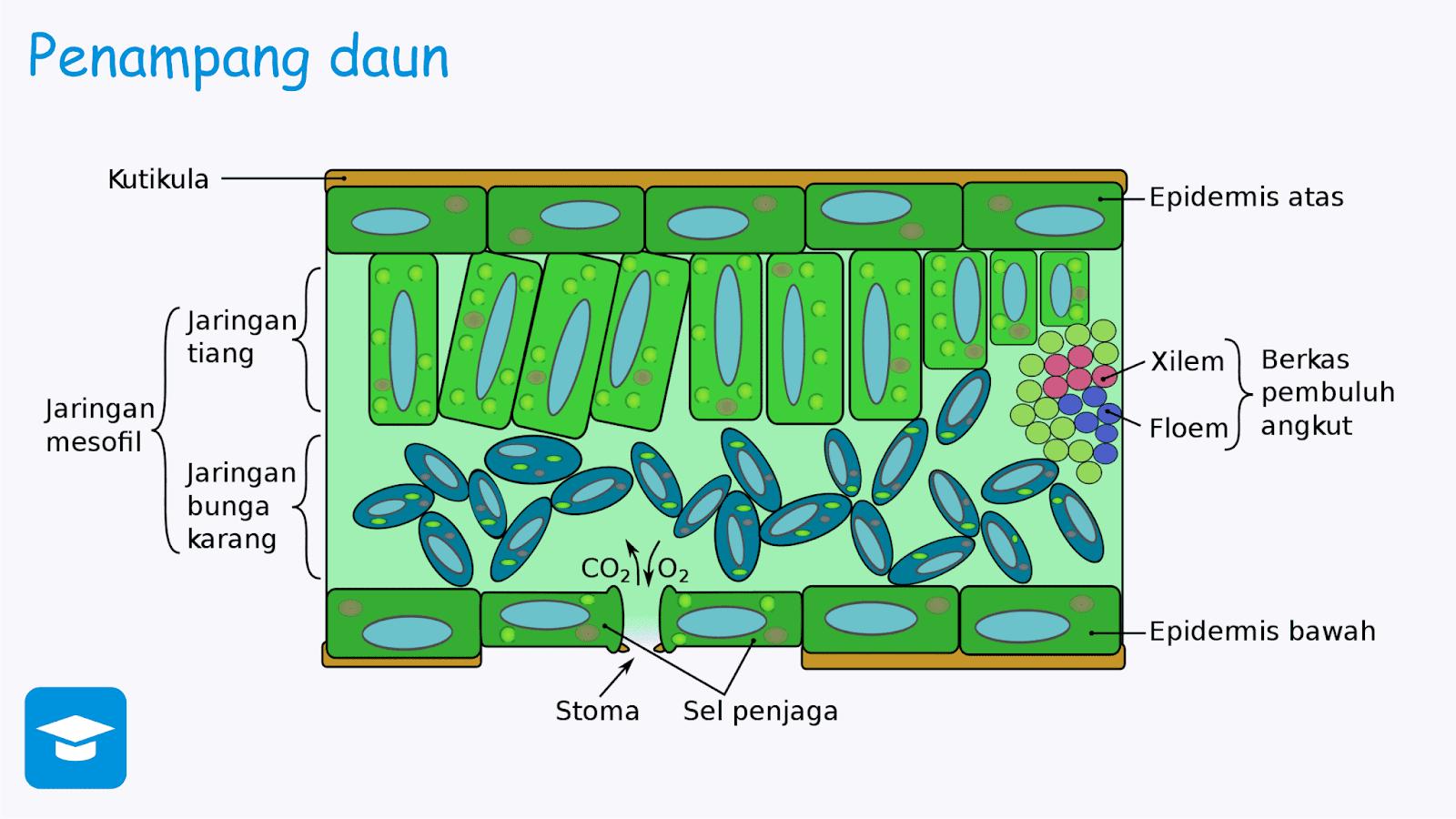 Gambar penampang daun