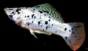 Panduan Dasar Budidaya Ikan Hias Air Tawar Molly bagi Pemula