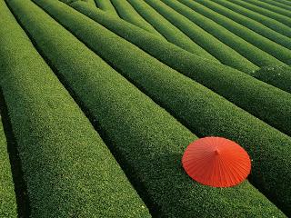 Kontras, kebun teh di Jepang dan payung merah