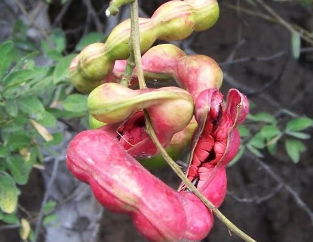 biji benih buah asem londo asam belanda buah merah 10 biji Sulawesi Utara