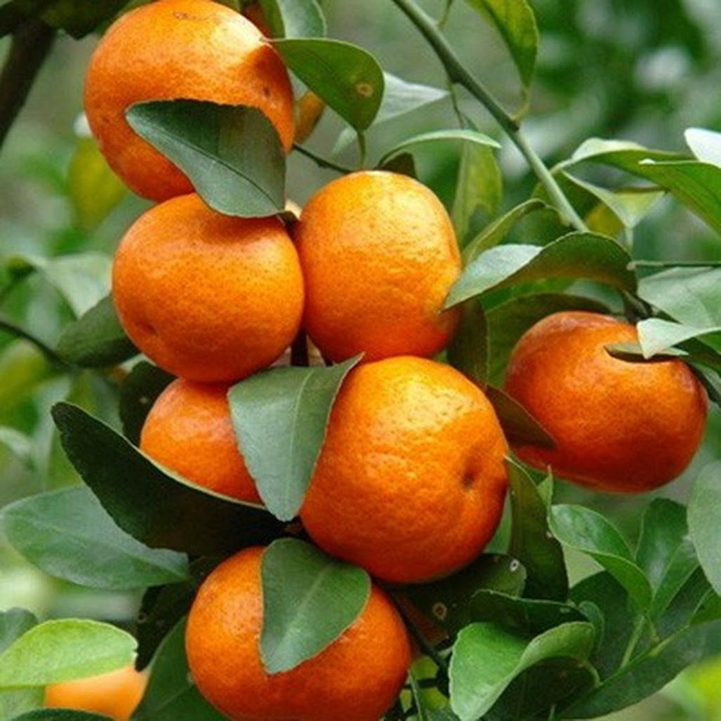 paket 3 bibit jeruk santang Jawa Barat