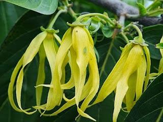 http://mustahabbah.blogspot.com/2016/02/inilah-khasiat-bunga-kenanga-bagi.html