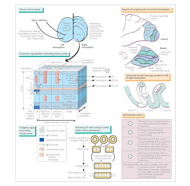 Visual System III: Visual Cortical Areas, The Hubel and Wiesel model, Functions of V1, Visual association or extrastriate areas,