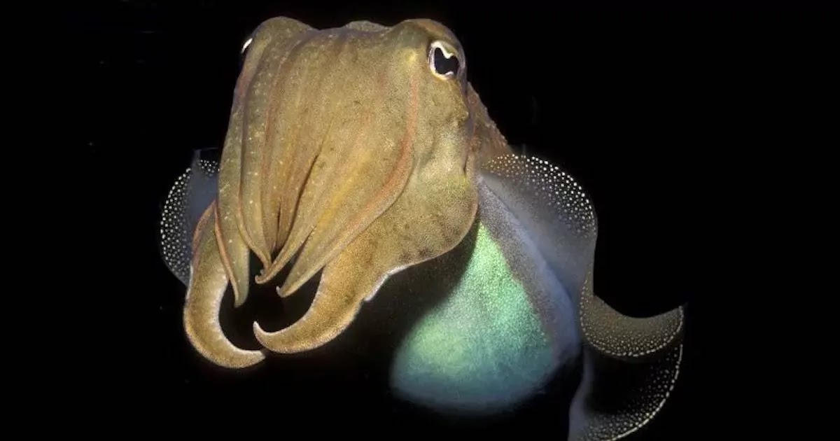 New Research Shows Cuttlefish Can Pass Intelligence Test Designed For Young Children