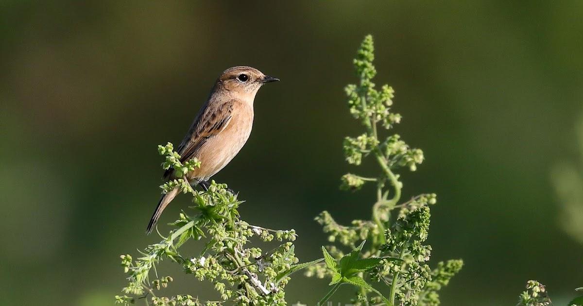 かわいい小鳥: ノビタキ