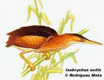 Mirasol chico: Ixobrychus exilis