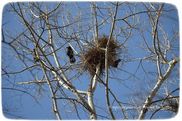 гнездо грача, птица, черный, ветки, тополь, небо,