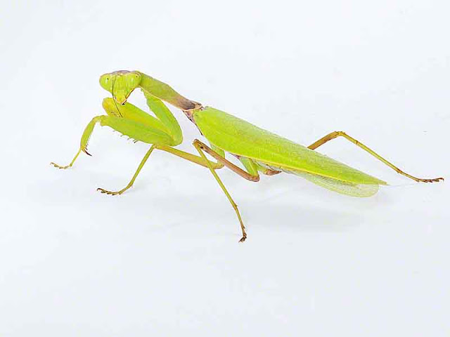 Praying Mantis, white background, side view, indoors