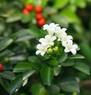 Manfaat tanaman Kemuning [Murraya paniculata (L.) Jack.]