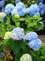 Long Island' Garden Girl Happy Hydrangeas Part 1 Pruning
