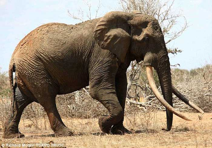 Largest Elephant On Record