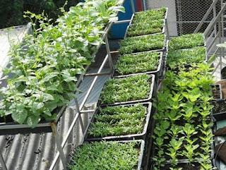 Cách trồng rau sạch trên ban công