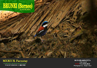 Blue-Headed Pitta by Jungle Dave Brunei