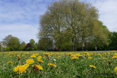 Paardenbloemen eten of paardenbloemen thee willen wij niet maken van deze bloemen in het park maar ze zijn wel mooi