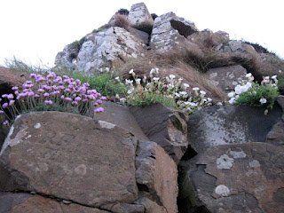 Pink and white wildflowers, and lichens, tucked into the tops of basalt columns, Giant's Causeway, Northern Ireland