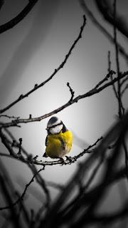 Little Yellow Bird Mobile HD Wallpaper