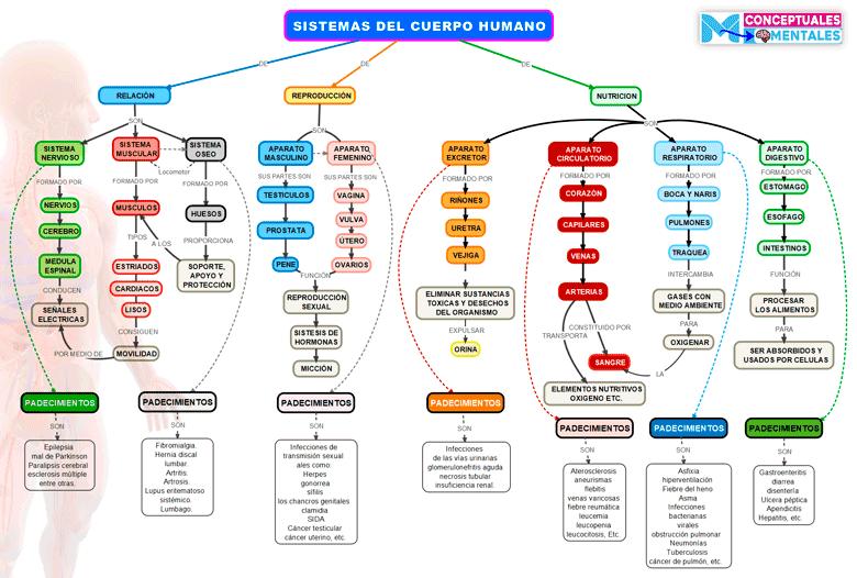 Imagen de mapa conceptual del cuerpo humano y sus sistemas con funciones y padecimientos