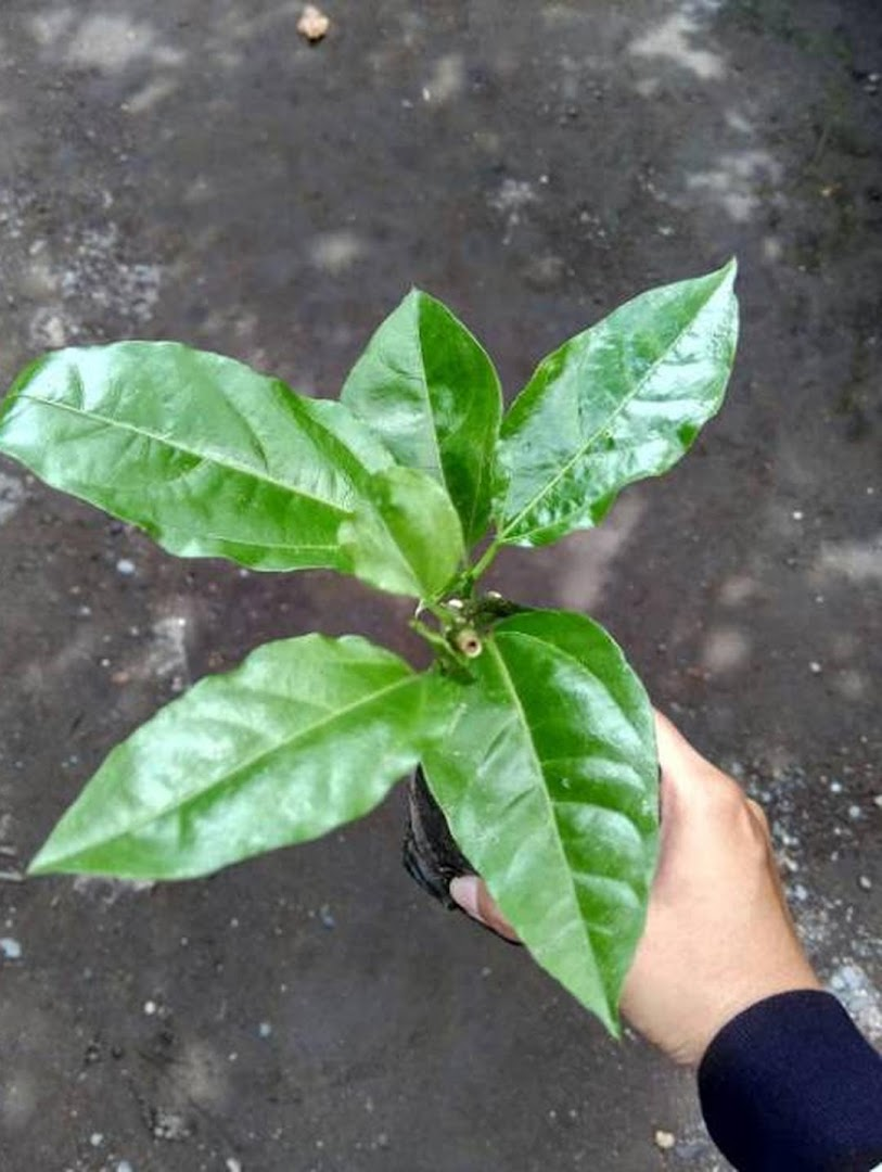 Bibit apel merah cangkok Sukabumi