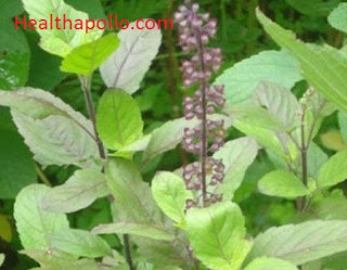 Basil leaves for cough